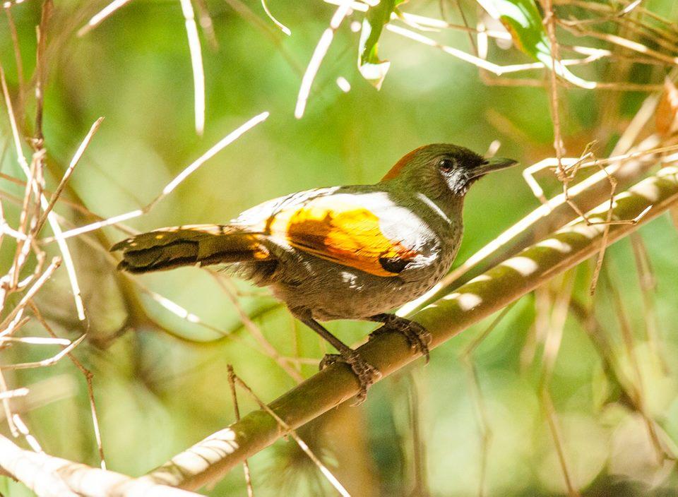 endemic-birds-in-vietnam-indochina